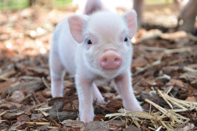 Гадания на год Свиньи