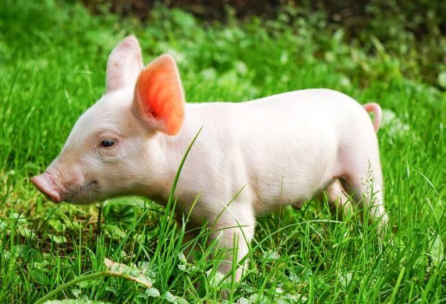 Денежное гадание в год Свиньи