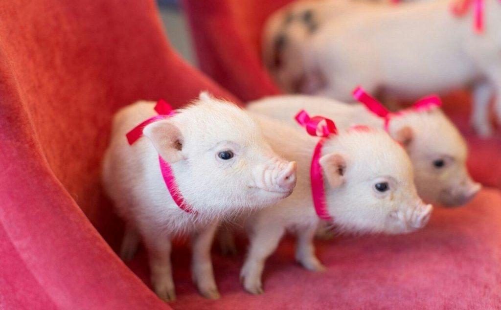Картинки новогодней Свиньи