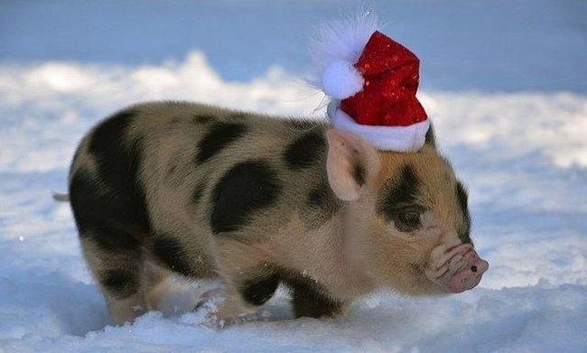 Свинья в новогоднем колпачке