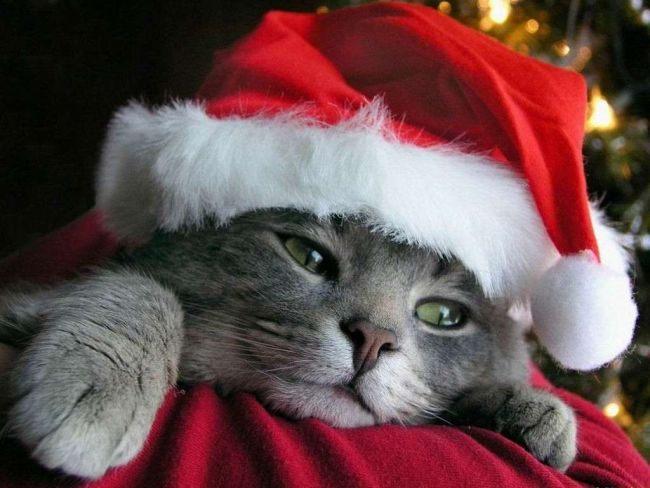 Кот в новогоднем колпачке.