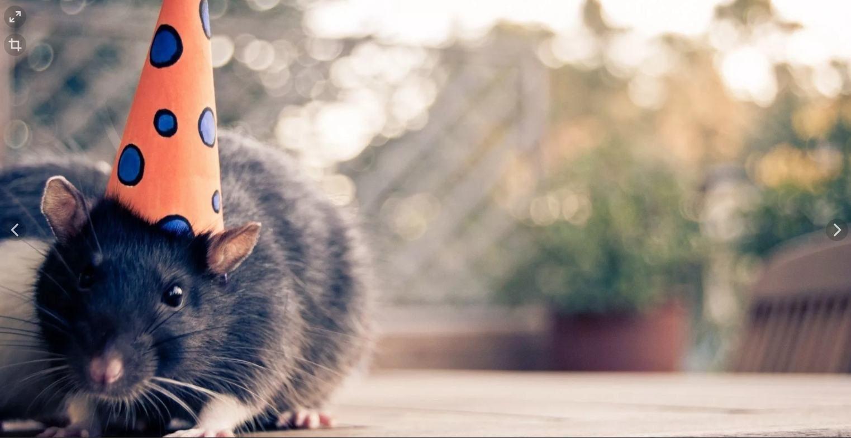Крыса в колпаке картинка