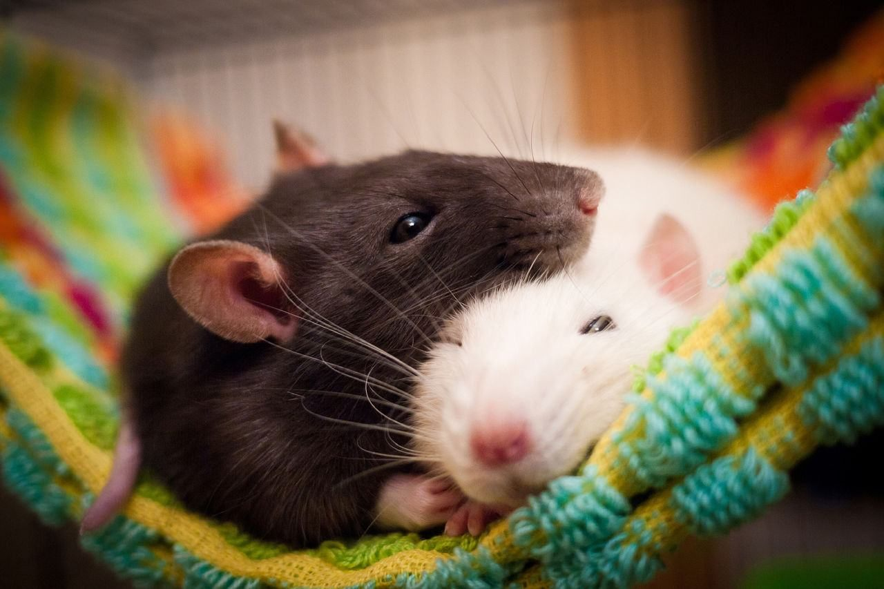 Картинка двух обнявшихся мышек