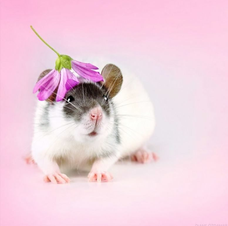Фотографии крысы