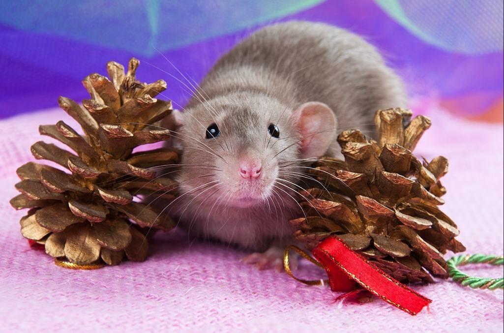 Мыши и крысы картинки