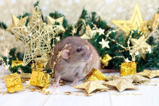 Новогодний праздник у крысы