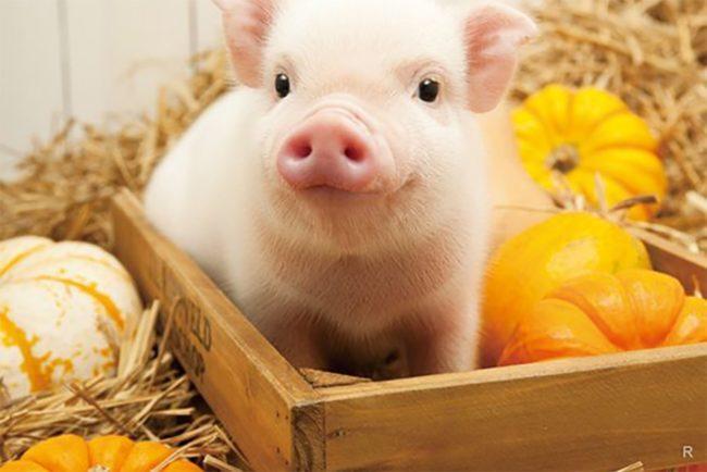 Гороскоп Свиньи на год Быка 2021