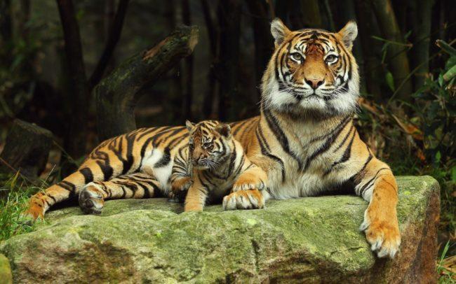 Красивые обои с Тиграми