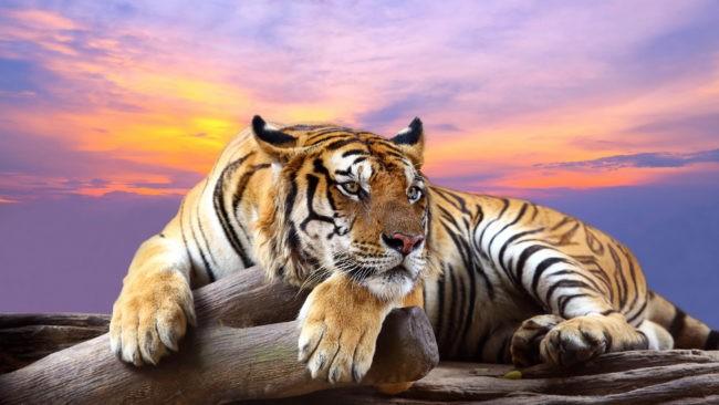 Обои с Тигром на телефон