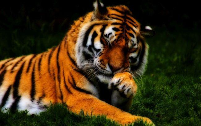 Раскраски Тигра для детей
