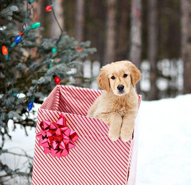 Щенок в подарочной коробке
